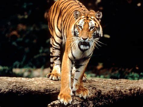 Sumatran Tiger Species Wwf