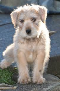 for sale young soft coated wheaten terrier holyhead