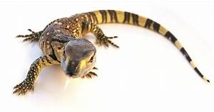 Black Throat Monitor for Sale | Reptiles for Sale