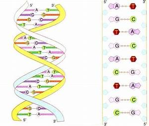 Biology Diagram Dna Structure