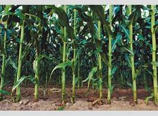 Differences Between Tall & Short Corn Plants Home Guides