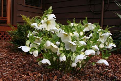 elleboro fiore elleboro piante da giardino