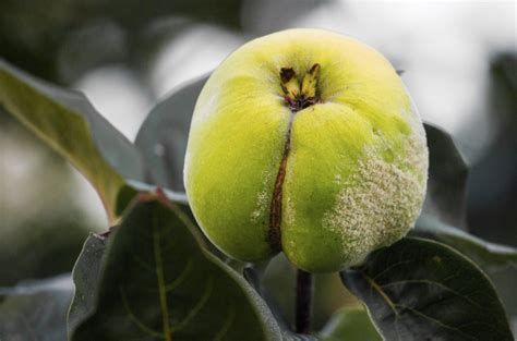 http://www.gardeningknowhow.com/edible/fruits/quince/quince-fruit-cracking.htm