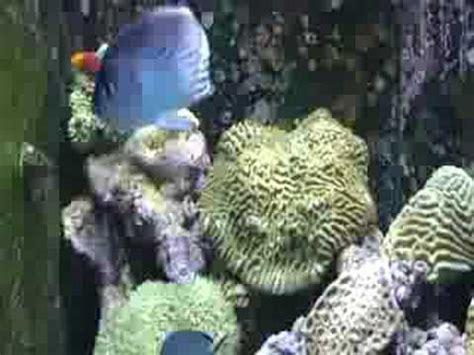 aquarium noyelles sous lens lamarck s angelfish genicanthus lamarck