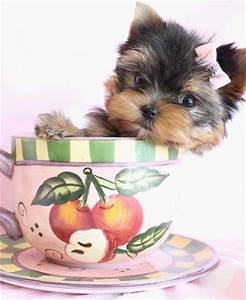 Gorgeous Yorkie puppy, in teacup size category.   Teacup ...