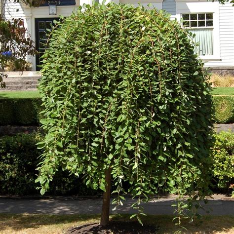 potted dwarf weeping willow trees  sale  buy