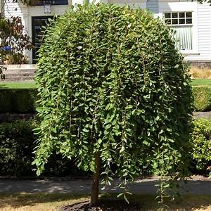 Potted Dwarf Weeping Willow Trees On Sale Best Buy Online