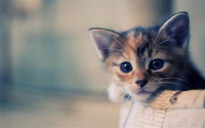 Cat Cats Themes Chrome Wallpapers Kittens Resolution