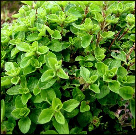 plante aromatique cuisine marjolaine planter et cultiver ooreka