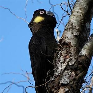 YELLOW TAILED BLACK COCKATOO | AUSTRALIAN BIRDS. | Pinterest