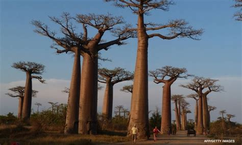 ancient baobab trees  southern africa  dying