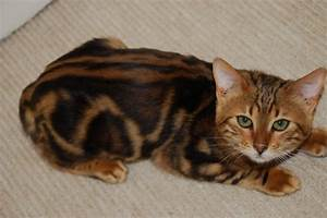 Stunning Gold Marble Bengal spayed Female | Waterlooville ...