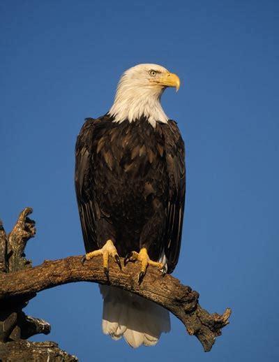 Bald Eagle Images Bald Eagles