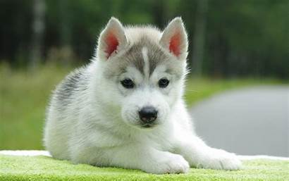 Husky Puppy Puppies Wallpapers Dogs Dog Cutest
