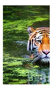 Animal Bengal Tiger Swimming 4k Ultra Hd Wallpaper For ...