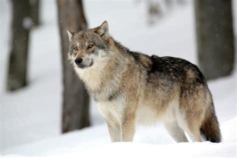 le loupe de bureau encyclopédie larousse en ligne loup variante dialectale