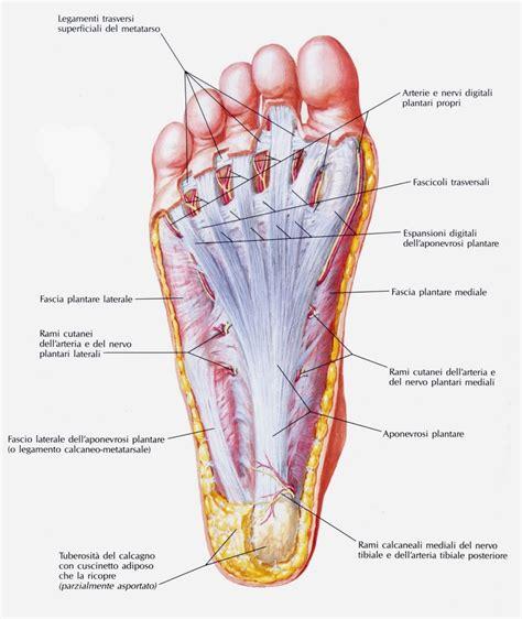 dolore al tallone laterale interno fasce del piede fisiogroup