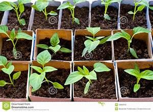 Bell Pepper Seedlings Stock Photography - Image: 18892642