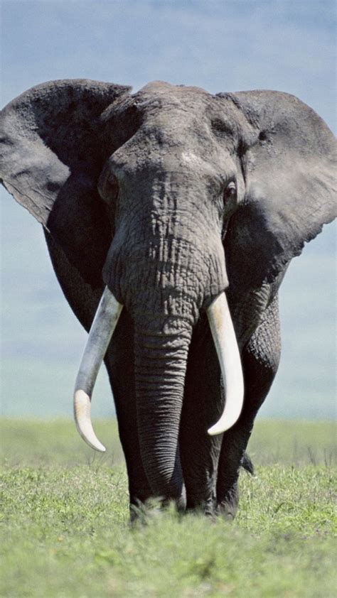 Elephant Iphone Wallpaper 74 Images