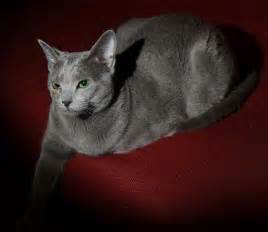 russian blue cat personality russian blue cat personality facts image search results