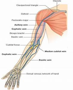 Flashcards - Anatomy Lecture 6 - Elbow Joint  Forearm