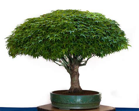 japanischer ahorn formschnitt ahorn acer bonsai