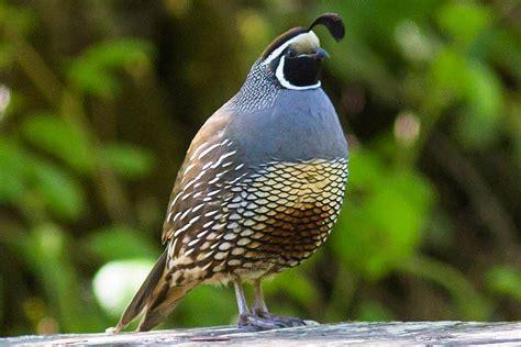 how to attract quail backyard birding