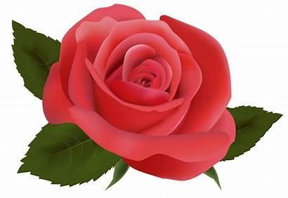 Rose Clipart Roses Flowers Transparent Pink Flower