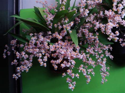 pressed flower oncidium tsiku marguerite 39 39 oncidium