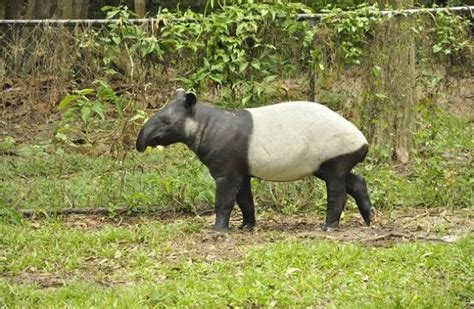 The term habitat3 forms a core concept in wildlife management and the distribution of plant and animal species. Tapir - Descriptions, Habitats, Images, Diets, and ...