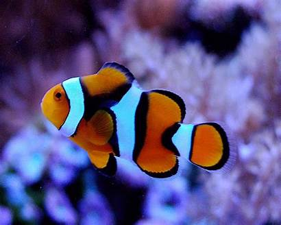 Clown Fish Wallpapers Clownfish Desktop Phone Screen