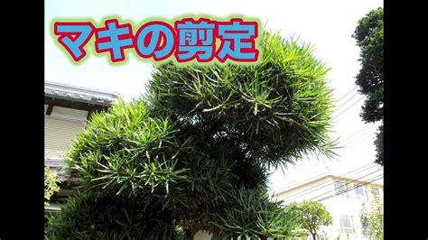 まき の 木 の 剪定