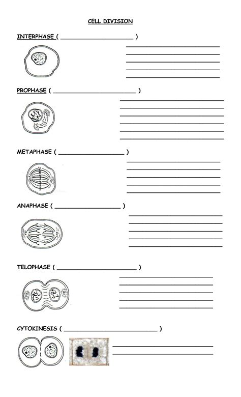 Cells Alive Mitosis Worksheet Worksheets For All  Download And Share Worksheets  Free On