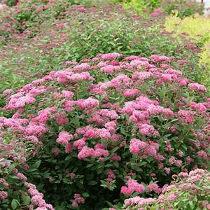 Double Play U00ae Pink - Spirea