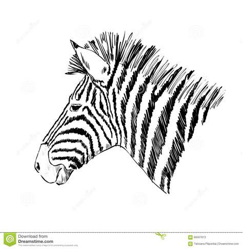 Sketch Of A Zebra Stock Vector Image 66567813