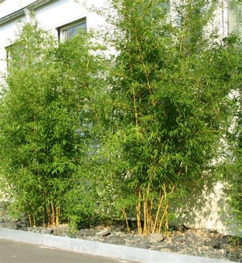 Bambus Garten Pflanzen Kölle by Pflanzenauswahl Bambus Pflanzen Sichtschutz Great