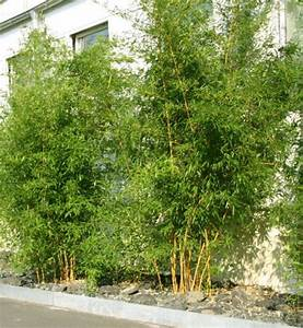 Bambus Pflanzen Sichtschutz : bambus pflanzenshop winterharte sorten heckenpflanzen und bambus f r innenr ume kaufen ~ Sanjose-hotels-ca.com Haus und Dekorationen