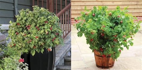 grow raspberries in a pot how to grow raspberries love the garden