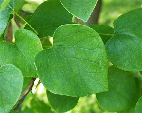 cercis canadensis leaf ufei selectree a tree selection guide