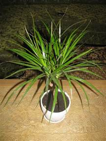 plants poisonous to cats is it true that dracaena poisonous to cats and dogs is
