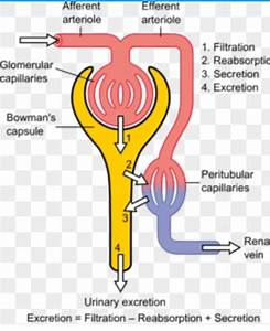 How To Describe The Function Of A Nephron In The Kidney
