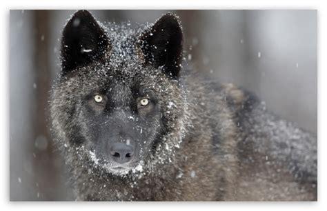 Black Wolf 4k Hd Desktop Wallpaper For 4k Ultra Hd Tv