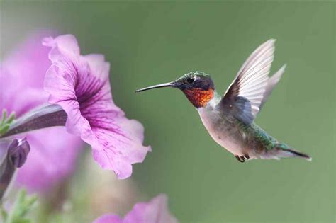 flowers that attract hummingbirds pictures of hummingbirds and flowers www pixshark com images galleries with a bite