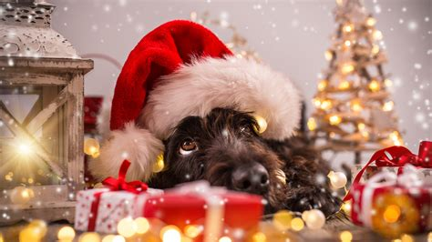 wallpaper christmas  year snow dog cute animals