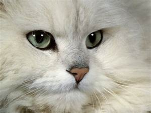 Chinchilla Persian Cat Photography