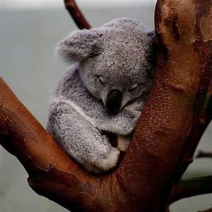 Sleepy Koalas | roustabout art