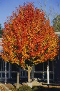 aristocrat pear is an outstanding medium sized ornamental shade tree for home landscapes the