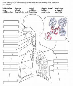 Solved  Label The Diagram Of The Respiratory System Below
