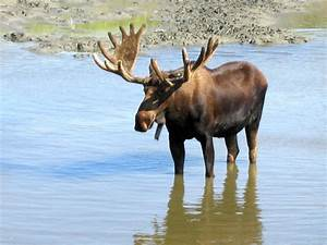 Pictures of Moose -- Animal Photos!