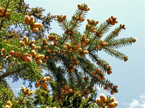 norway spruce picea abies trees  shrubs naturegate